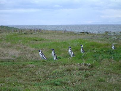 Pinguins walking