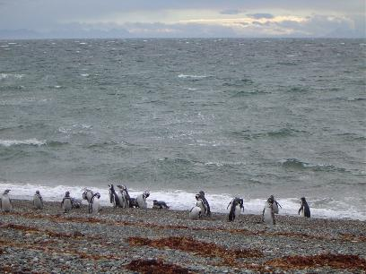 Pinguins coming ashore