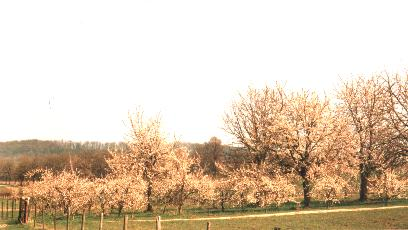 Apple trees - St-Pieters Voeren