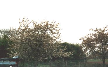 Cherry trees - St-Truiden
